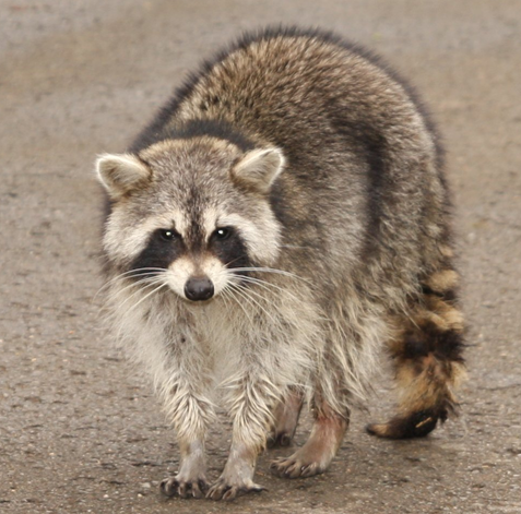 Image of: Attic Raccoon Eviction And Removal Alpine Wildlife Control